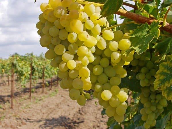 Navufey-dorozhil-vinogradnikom
