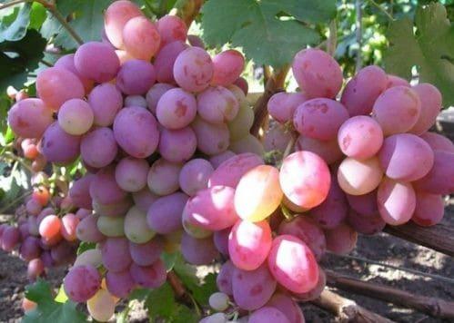 chistyy sokiz vinogradnoy lozy