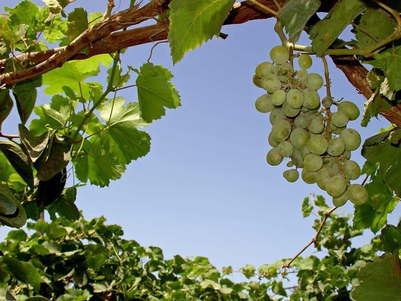 pitaet soki iz vinogradnoy lozy