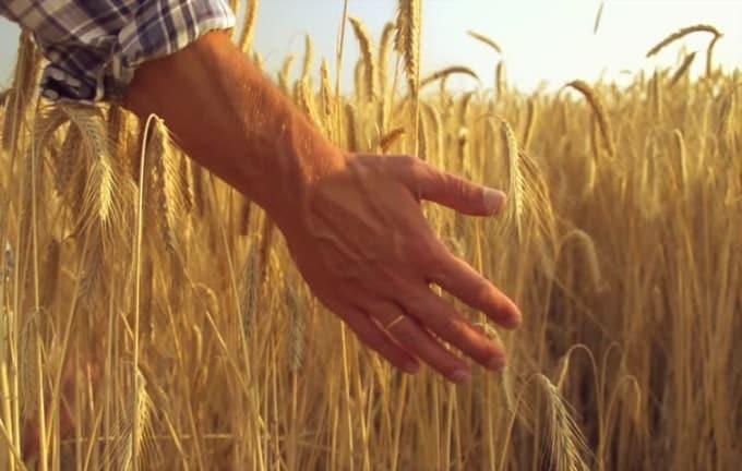 pshenitsa i ruka cheloveka