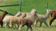 Овцы не сего двора